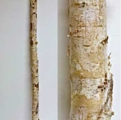 Immagine di BIRCH TRUNKS D.4/6 CM. H 200 NATURALE