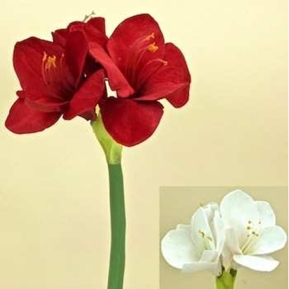 Picture of AMARYLLIS STEM  H.45 CM
