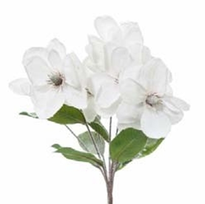 Picture of BUSH MAGNOLIA INNEVATA x 7
