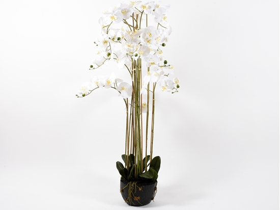 Picture of ORCHIDEA X11 SU MUSCHIO 150 CM