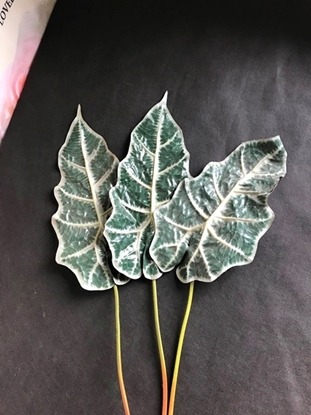 Picture of ALOCASIA LEAF W/COATED 80 CM. NAT.